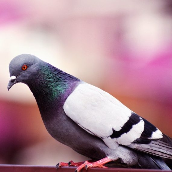 Birds, Pest Control in Grove Park, SE12. Call Now! 020 8166 9746
