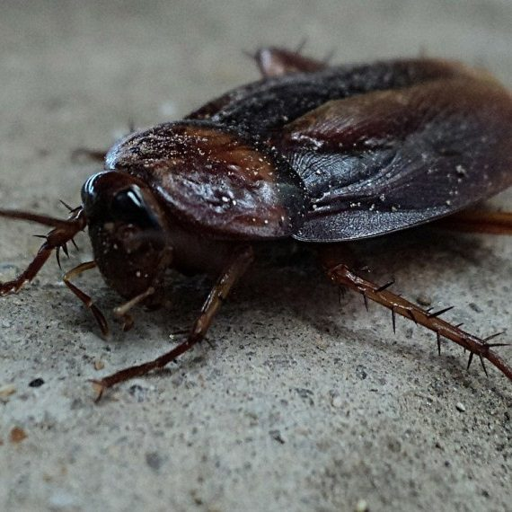 Cockroaches, Pest Control in Grove Park, SE12. Call Now! 020 8166 9746