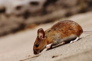 Mice Exterminator, Pest Control in Grove Park, SE12. Call Now 020 8166 9746