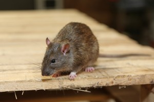 Rodent Control, Pest Control in Grove Park, SE12. Call Now 020 8166 9746
