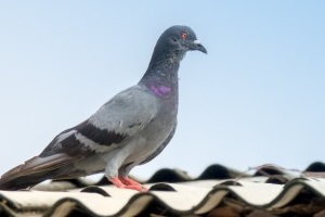 Pigeon Pest, Pest Control in Grove Park, SE12. Call Now 020 8166 9746