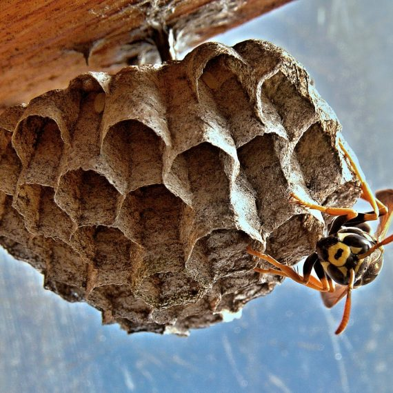 Wasps Nest, Pest Control in Grove Park, SE12. Call Now! 020 8166 9746