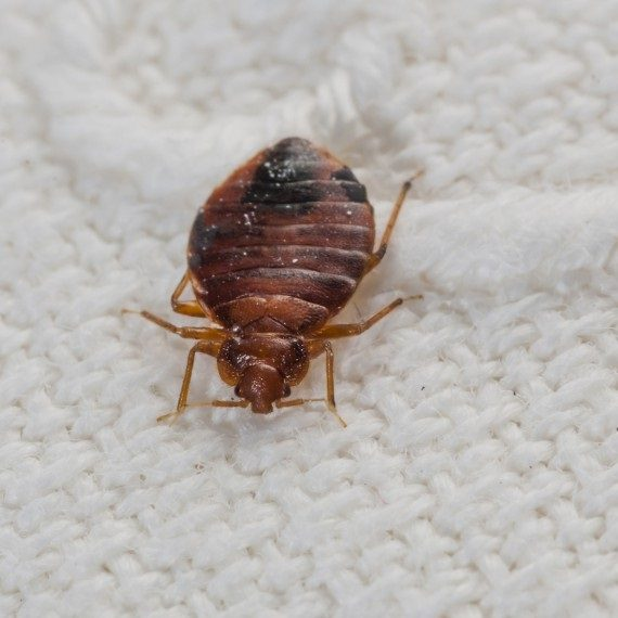 Bed Bugs, Pest Control in Grove Park, SE12. Call Now! 020 8166 9746
