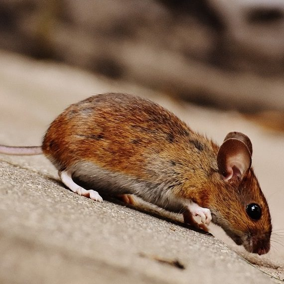 Mice, Pest Control in Grove Park, SE12. Call Now! 020 8166 9746
