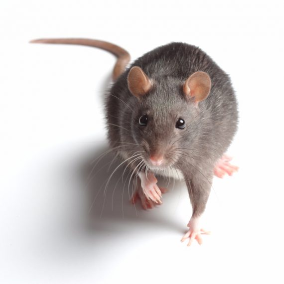 Rats, Pest Control in Grove Park, SE12. Call Now! 020 8166 9746